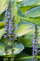 Hosta June with Salvia nemerosa 'Crystal Blue',  blue flowers with insect bee bumblebee