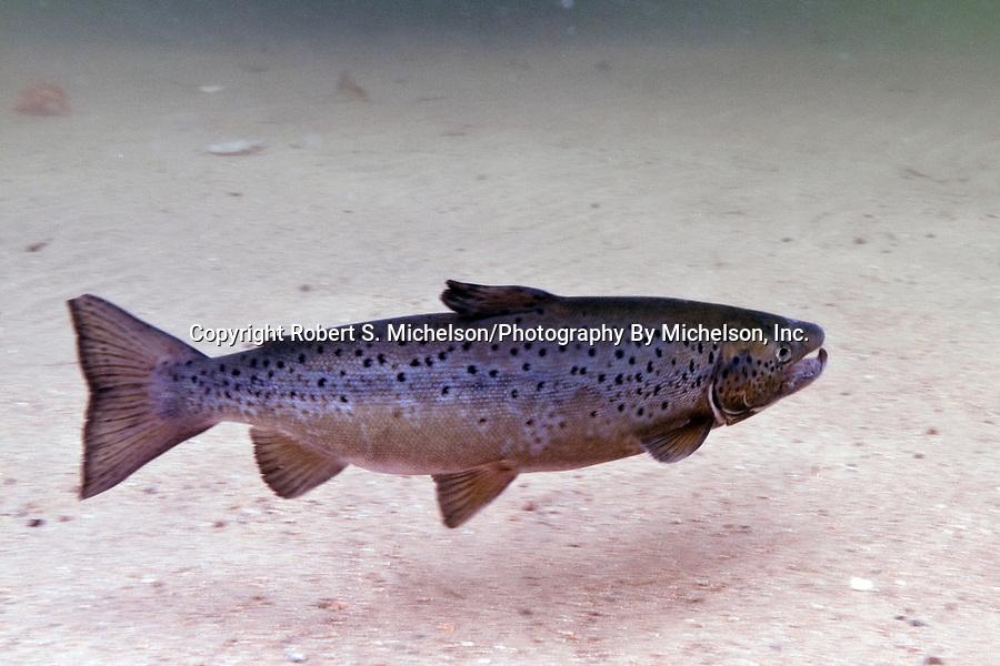 Landlock Atlantic Salmon male, Squam Lake, NH.