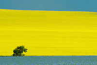 Canola, flax and tree<br /> Treherne<br /> Manitoba<br /> Canada