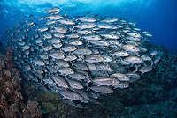 A densely packed school of Bigeye Trevally, Caranx sexfasciatus, at Mary Island, Solomon Islands, Pacific Ocean