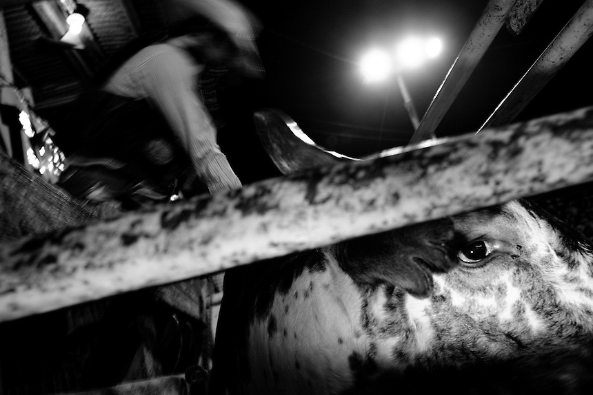 A rider prepares his bull in the chute just before competition begins in Llano, Texas.  June 7, 2008.