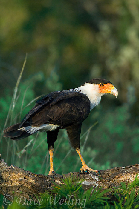 511580097 a wild northern crested caracara caracara cheriway surveys its surroundings from a mesquite log perch in south texas