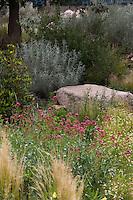 Centranthus ruber, red valerian or Jupiter's Beard flowering in Xeric Garden at Rio Grande Botanic Garden