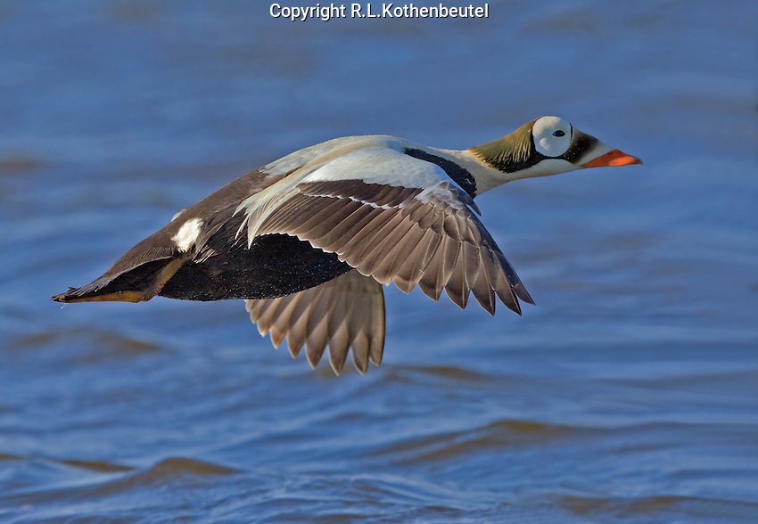 Male spectacled eider in flight over a pond on the Alaskan tundra<br />