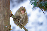 Japanese macaque, or snow monkey, Macaca fuscata, juvenile, resting on a tree branch, Hokkaido Island in Japan