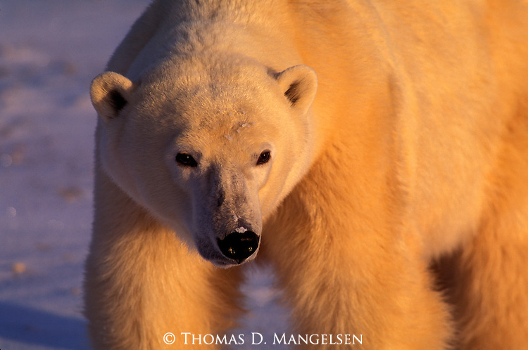 A portrait of a polar bear in Canada.