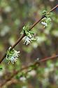 Winter honeysuckle (Lonicera × purpusii), late February.