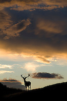 Buck Deer at sunset in the hills above Queenstown, New Zealand
