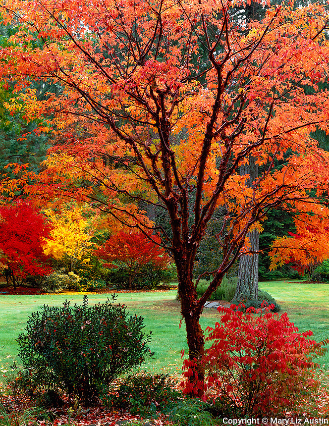 Vashon Island, WA<br /> Fall color in a garden featuring a paperbark maple (Acer griseum) with brilliant orange trifoliate leaves and peeling cinnamon colored bark