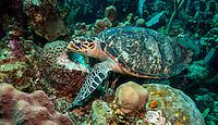 Hawksbill turtle (Eretmochelys imbriocota) feeding; West End, Roatan, Honduras.