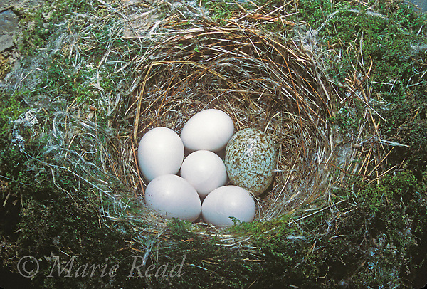 Brown-headed Cowbird (Molothrus ater) egg (R) in nest of Eastern Phoebe (5 white eggs), Ithaca, New York, USA<br />