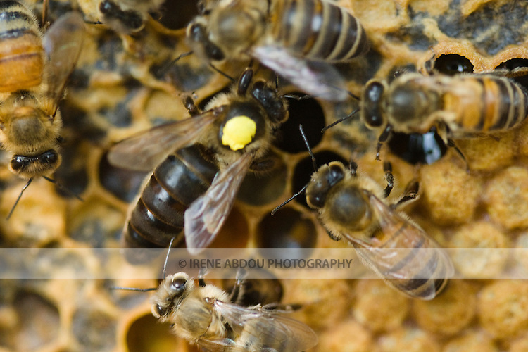 Locally raised bees swarm over a honeycomb.  In beekeeping, the cells on a frame of comb are used to rear brood, as well as to store honey, nectar, and pollen.  These bees are kept by Michael and Jean Higgs, local beekepers in Silver Spring, Maryland.