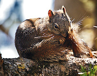 A Squirrel grooming at the Lizard Creek Campground in Grand Teton National Park