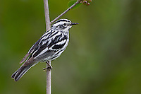 Black-and-white Warbler (Mniotilta varia), male on it's breeding territory in Sterling Forest State Park, New York.