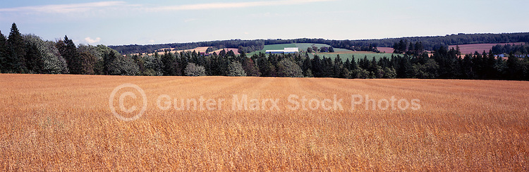 Oat Grain Field at Lower Newton, PEI, Prince Edward Island, Canada - Panoramic View