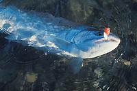 A Skagit River, Washington State Steelhead trout.