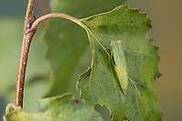 Birken-Gürtelpuppenspanner, Birkengürtelpuppenspanner, Birken-Gürtelpuppen-Spanner, Weißer Ringfleckspanner, Gürtelpuppenspanner, Gürtelpuppen-Spanner, Puppe, Gürtelpuppe, Cyclophora albipunctata, Cosymbia coreana, birch mocha, pupa, pupae, Spanner, Geometridae, looper, loopers, geometer moths, geometer moth