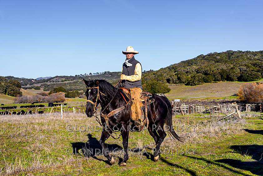 Cowboy riding black horse at cattle roundup on the Central Coast of California