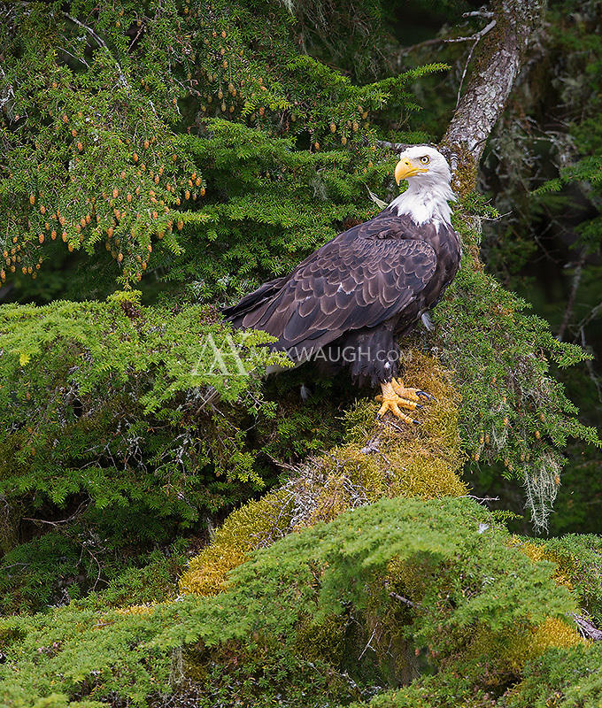 Bald eagles are a common sight in the Great Bear Rainforest.