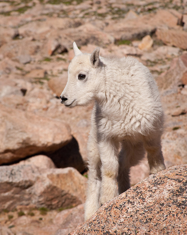 Mountain Goat kid, closeup