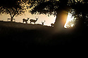 02/09/14 <br /> <br /> As summer continues into autumn, deer prepare for the rutting season as a misty golden dawn breaks over the Chatsworth estate in the Derbyshire Peak District.<br /> <br /> All Rights Reserved - F Stop Press.  www.fstoppress.com. Tel: +44 (0)1335 300098