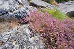 Colorful Heather Nestled among the Rocky Outcroppings on the Island of Kökar