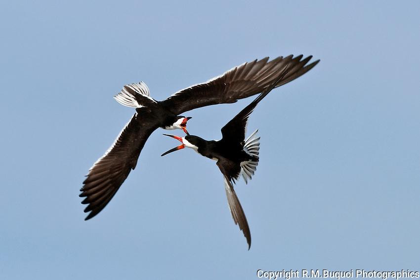 Black Skimmers Fighting in Flight
