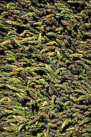 Large piles of green asparagus tips in bundles. bright color, green, vegetables, garden, fresh, tasty, flavorful, summer, spring, gray green, asparagus tips, stalks, asperagus, pink and green, farmer's market, agriculture, farming, produce, food, cuisine,