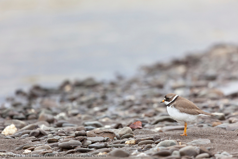 Semi-palmated plover on the shores of the Nigu river, National Petroleum Reserve, Alaska.