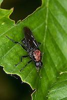 Waffenfliege, Clitellaria ephippium, soldier fly, Waffenfliegen, Stratiomyidae, soldier flies