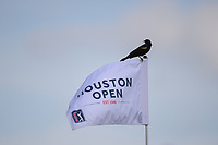 A bird is perched atop the pin flag on 18 while awaiting the Ian Poulter (GBR) and Beau Hossler (USA) playoff hole during round 4 of the Houston Open, Golf Club of Houston, Houston, Texas. 4/1/2018.<br /> Picture: Golffile | Ken Murray<br /> <br /> <br /> All photo usage must carry mandatory copyright credit (&copy; Golffile | Ken Murray)