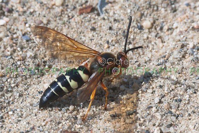 Eastern Cicada Killer Wasp (Sphecius speciosus) on the ground at Ward Pound Ridge Reservation, Cross River, Westchester County, New York
