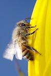USA; California; San Diego; Honey Bee taking off.