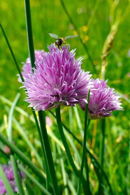 Mountain Onion - Allium - wild alpine meadow flower - 6000ft (2000 mts)