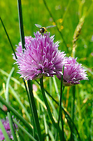 Mountain Onion - Allium - wild alpine meadow flower - 6000ft (2000 mts)