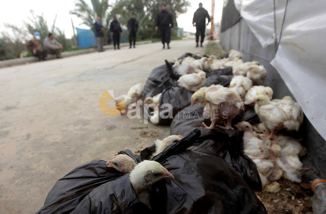 Palestinian policemen walks next to chicks after combined by Palestinian workers to cull it, in a farm in Deir al-Balah in the central of Gaza strip on Feb. 05, 2013. Palestinian ministry of Agriculture culled 10,000 smuggled chicks through the tunnels between Egypt and Gaza strip fear of being infected with bird flu. Photo by Ashraf Amra