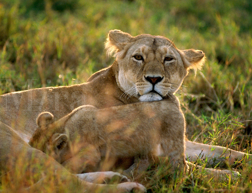 African, wild animal. Lioness with cub on the Masai Mara, Kenya. Masai Mara, Kenya.