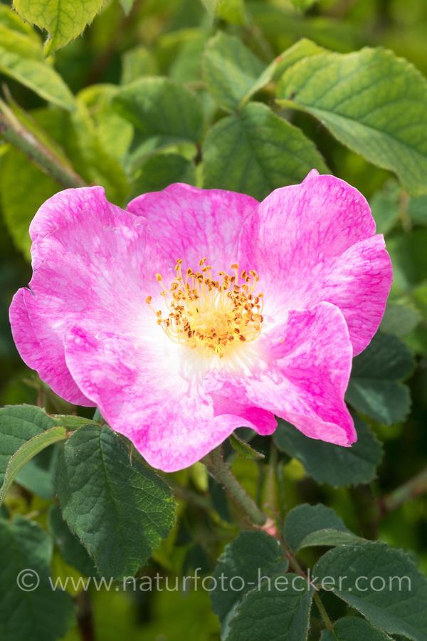 Essig-Rose, Essigrose, Apothekerrose, Apotheker-Rose, Gallische Rose, Gallica-Rose, Gallica-Rosen, Provins-Rose, Rose, Rosen, Rosa gallica officinalis, Rosa gallica, Gallic rose, French rose, rose of Provins, le rosier de France, rosier de Provins