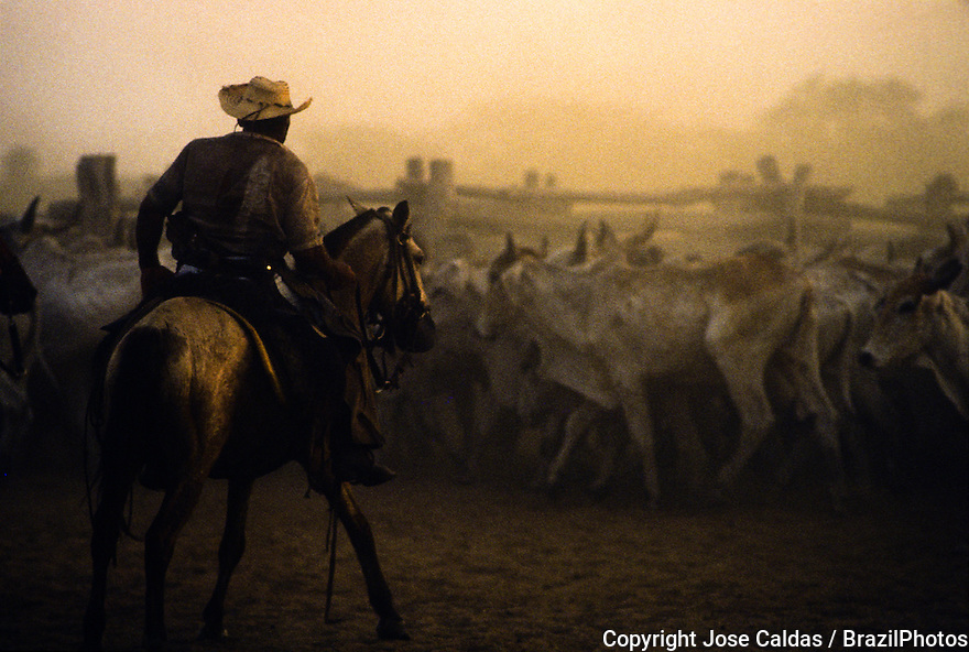 Cowboy guiding cattle, livestock in Pantanal Matogrossense, Brazil.