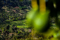 Avocado trees are seen growing at a plantation on the mountainside near Sonsón, Antioquia department, Colombia, 16 October 2019. Over the past decade, the Colombian avocado industry has experienced massive growth, both as a result of general economic development in Colombia, and the increased global demand for so-called superfood products. The geographical and climate conditions in Antioquia (high altitude, no seasonal extremes, high precipitation rate) allow two harvest windows of the Hass avocado variety across the year. Although the majority of the Colombian avocado exports are destined towards Europe now, Colombia aspires to become one of the major avocado suppliers to the U.S. market in the near future.
