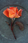 Single orange bloom of Rose or Rosa Sallys lying with its stem on tarnished metal plate