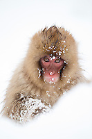 Snow Monkey (Macaca fuscata) in fallen snow, Nagano, Japan, February 2015