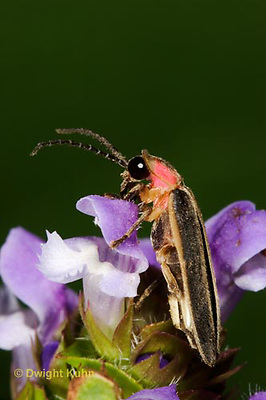 1C24-793z  Pyralis Firefly - Lightning Bug - Photinus spp.