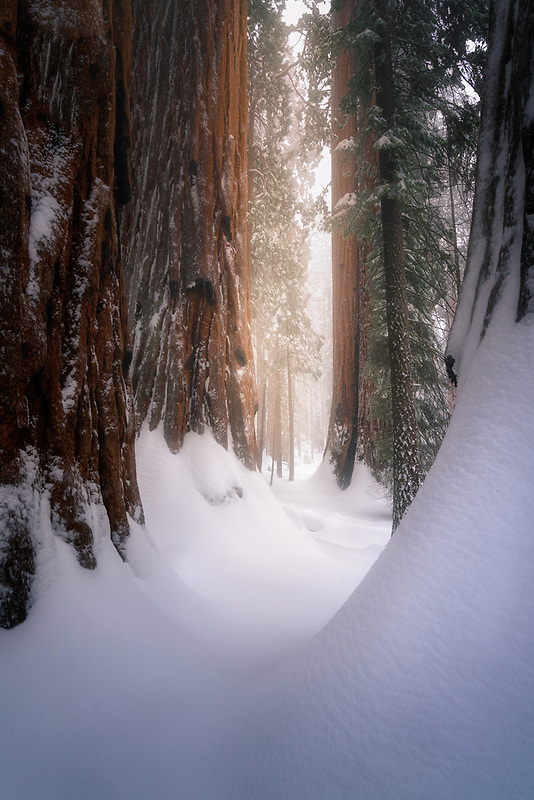 Snow covered Sequoia trees. Sequoia National Park, CA