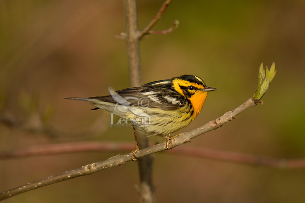 Male Blackburnian warbler (Setophaga fusca).  Great Lakes Region, May.