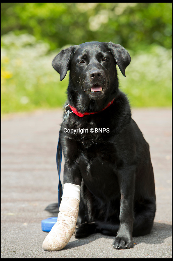 BNPS.co.uk (01202 558833)<br /> Pic: RachelAdams/BNPS<br /> <br /> Dog Pippa. <br /> <br /> Pippa the dog had a miracle escape after she plunged off a 100ft cliff and survived by landing in the sea below.<br /> <br /> The black labrador was being taken for a walk when she suddenly became excited at seeing the sea in the distance.<br /> <br /> She ran off from owners Daniel and Katy Pordage, dashed 500 yards across two fields towards the edge of the cliff without realising the danger.<br /> <br /> Incredibly, Pippa landed in the an area of water between two rocks 100ft below and suffered just an injured front paw in the death-defying fall.<br /> <br /> Two climbers who were abseiling down to scale the cliff at Anvil Point, near Swanage, Dorset, plucked the dog out of the water and held on to her until a lifeboat crew arrived.<br /> <br /> Pippa was taken aboard and ferried to the lifeboat station where she was reunited with her relieved owners.<br /> <br /> Katy, a 27-year-old vetinery nuse, looked at the three-year-old pooch and thought she had broken her front right leg but a further examination revealed just a damaged tendon.<br /> <br /> Katy and Daniel, a 32-year-old web designer from Hythe, near Southampton, were enjoying a break on the Isle of Purbeck with their dogs, Pippa and Marley.