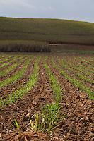 Sem Peixe_MG, Brasil...Plantacao de cana-de-acucar em Sem Peixe, Minas Gerais...Plantation of sugarcane in Sem Peixe, Minas Gerais...Foto: LEO DRUMOND / NITRO