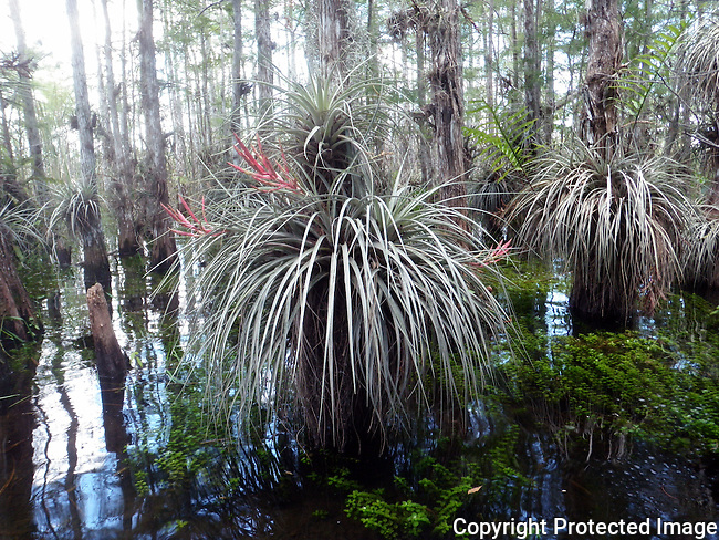 OLYMPUS DIGITAL CAMERA large, flowering, wild bromeliads cling to the trunks of bvald cypress trees amid the rainy season waters of Everglades Nat'l Park