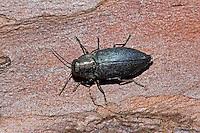 Blauer Kiefernprachtkäfer, Blauer Kiefern-Prachtkäfer, Blauer Föhrenprachtkäfer, Blauer Föhren-Prachtkäfer, Phaenops cyanea, Steelblue Jewel Beetle
