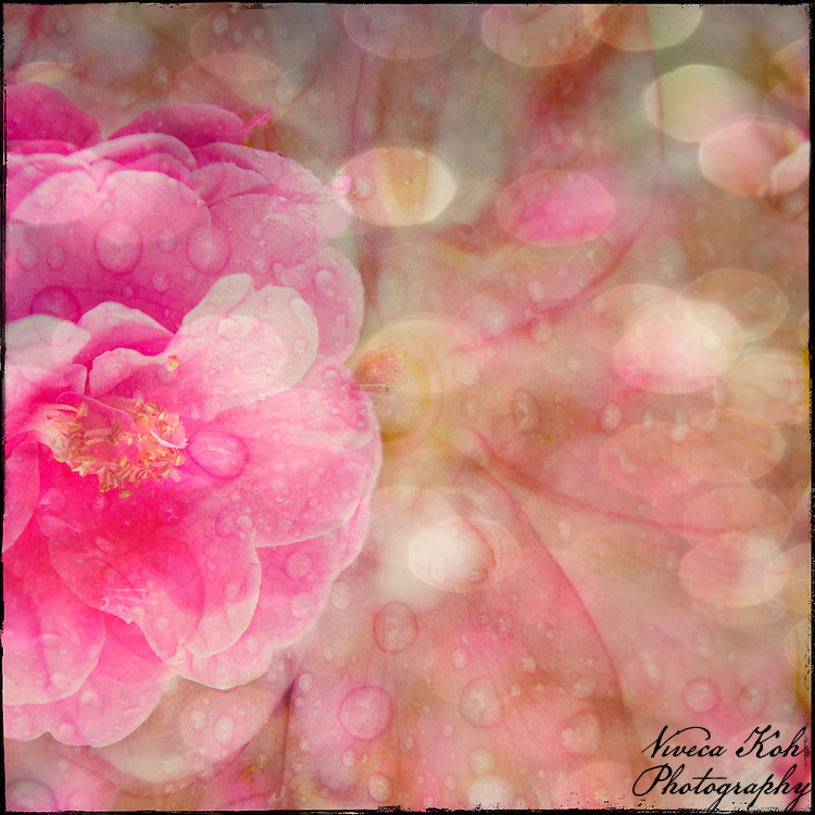 Camelia with water drops, bokeh and other layers applied